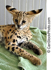 serval - The serval is a medium sized cat. It is a strong...