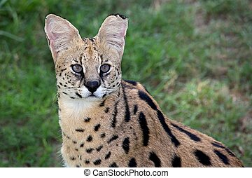 Beautiful Serval wild cut with pretty fur and eyes