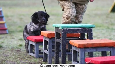 Service dog runs along obstacles with his trainer - A ...