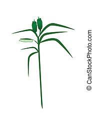 sesam, fris, plant, witte achtergrond