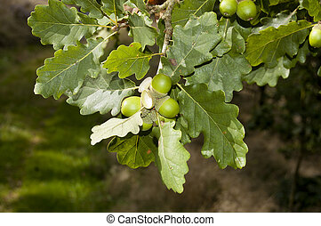 Sessile Oak (Quercus petraea) - It is a species of oak...