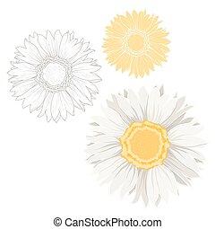 set, camomilla, isolato, giallo, margherita, fiori bianchi