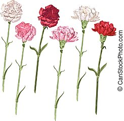 White, pink and red carnation. Isolated