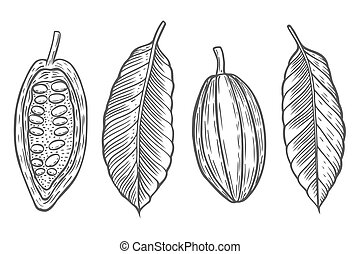 Set Cocoa beans vector illustration.