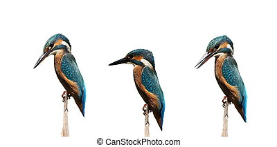 Set Common Kingfisher isolated on white background, alcedo...