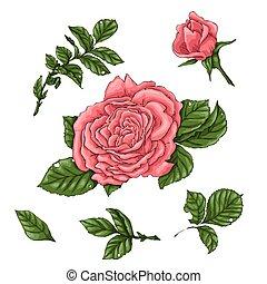 Set coral roses. Hand drawing Vector illustration