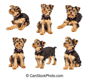 set, di, carino, terrier yorkshire, cucciolo, foto