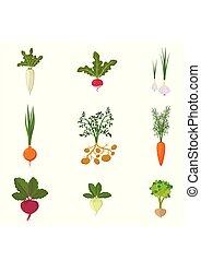 set, di, fresco, organico, orto, isolato, bianco, fondo., differente, tipo, radice, veggies:, carota, cipolla, patate, ravanello, daikon, barbabietola, aglio, celery., vettore, illustrazione