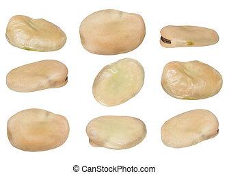 set fava bean, broad bean, butter bean, Windsor bean, horse...
