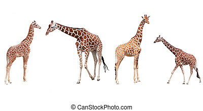 Set from four giraffes in the different poses isolated on a...