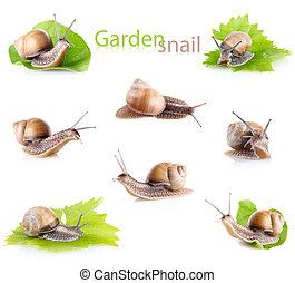 set garden snail (Helix aspersa) isolated on white...