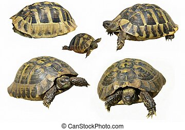 Set Hermann's Tortoise and baby
