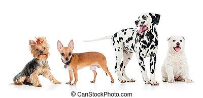 set, huisdieren, vrijstaand, achtergrond, witte , honden