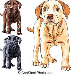 set, labrador, razza, cane, vettore, cucciolo, cane da riporto