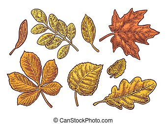 Set leaf. Vector vintage color engraved illustration.