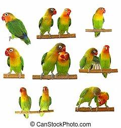 Set lovebirds agapornis-fischeri