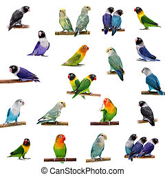 Set Lovebirds on white