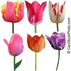 Set of 6 Tulips Isolated on White Background