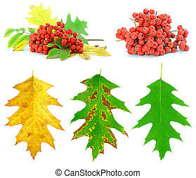 set of autumn leaf and wild ash berries