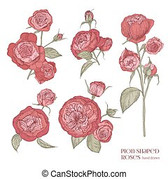 Set of beautiful botanical drawings of red peony-shaped roses. Hand drawn tender blooming flowers isolated on white background, view from different angles. Floral vector illustration in antique style.