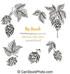 Set of botany hand drawn sketch hop isolated on white background. Engraving style. Herbal frame. Natural food collection.