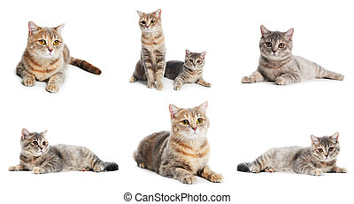 set of British Shorthair cats isolated
