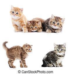 set of British Shorthair kittens