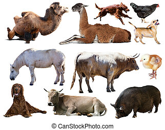 Set of bull and other farm animals. Isolated over white...