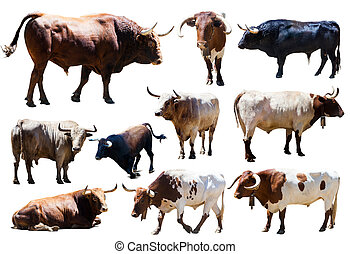 Set of bulls. Isolated over white