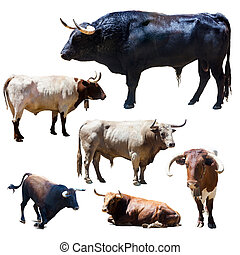 Set of bulls over white