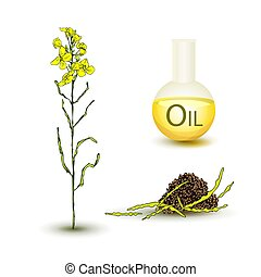 Set of canola flower and oil - Set canola plant with yellow ...