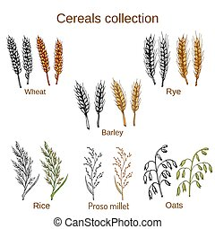 Set of cereals. Barley, rye, oats, rice, proso millet and wheat.