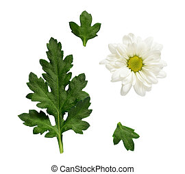 Set of chamomile flower and leaves for collage