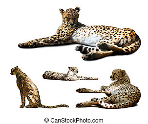 Set of Cheetah over white
