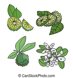 Set of citrus fruits bergamot, fruits with leaves, slices of citrus and a flowering twig, parts of a plant of green color