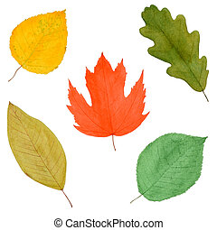 Set of Colorful Autumnal Tree Leaves, Watercolor Hand Drawn and Painted, Isolated on White