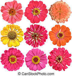 Set of  colorful flowers of zinnia isolated on white background