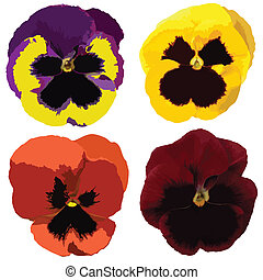 Set of colorful viola flowers isolated on white background