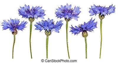 Set of cornflowers isolated. Blue flowers.