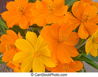 set of  cosmos flower for background