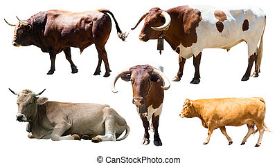 Set of cows. Isolated over white