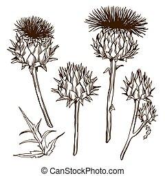 Set of decorative onopordum acanthium. Scottish thistle