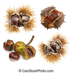 Chestnuts in their natural shells as a set of four isolated studio shots
