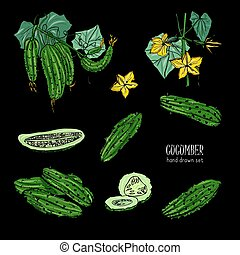 Set of different cucumber, on branch, flowering. Cuke slices, cut along, top view, from side. Colorful vector hand drawn illustration on black background.