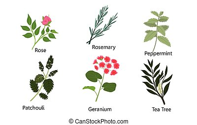 Set of different natural herbs, flowers. Rose, rosemary, peppermint, patchouli, geranium, tea tree. Vector illustration in flat cartoon style