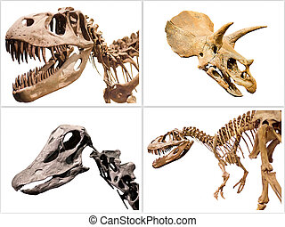 Set of dinosaurs skeleton T-Rex, Diplodocus, Triceratops, on white isolated background