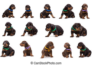 Set of doberman dog litter, puppies in coloured ribbons