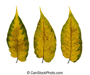 Set of Dry Leaves Isolated on White Background