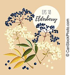 Set of elder flowers and berries