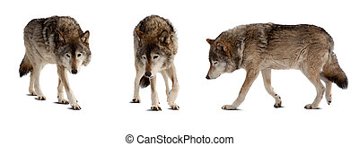 Set of few wolves over white - Set of few wolves. Isolated...